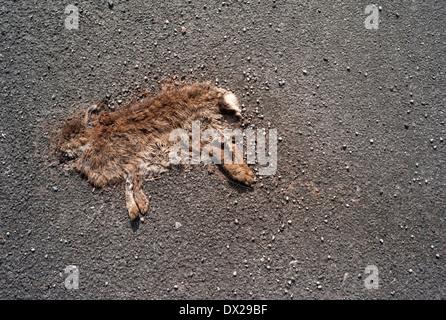 Roadkill rabbit / Flattened rabbit - Stock Photo