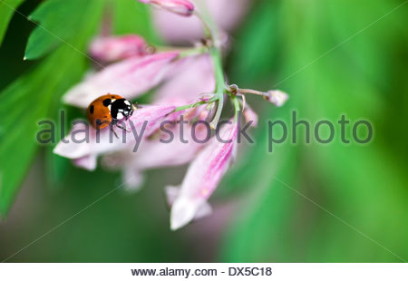 Ladybug and Pink Bleeding-heart in the summer - Stock Photo