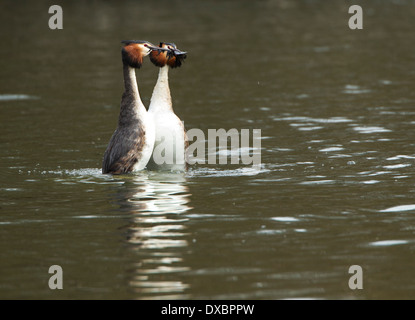 Great crested grebe in weed courtship ritual; - Stock Photo