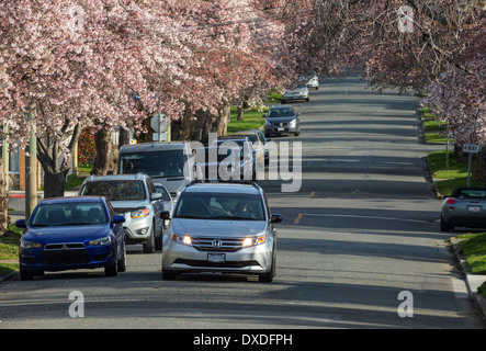 Cherry blossom trees in full bloom on Moss Street, Victoria, British Columbia, Canada. - Stock Photo