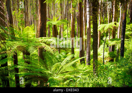 Lush green ferns, tree ferns and towering mountain ash along the Black Spur, Victoria, Australia - Stock Photo