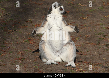 Ringtailed lemur  (Lemur catta) close-up while sunbathing - Stockfoto