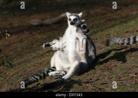 Ring tailed lemur  (Lemur catta) close-up while sunbathing - Stockfoto