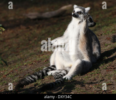 Ring tailed lemur  (Lemur catta) close-up while sunning - Stockfoto