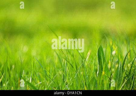 Fresh green grass as spring season background, image with shallow depth of field, soft and selective focus. - Stock Photo