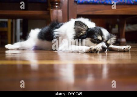 Sleeping long hair chihuahua on wooden floor, stock photo - Stock Photo