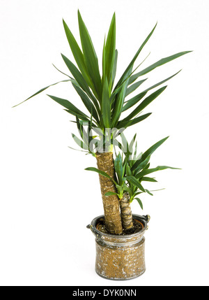 indoor plants yucca palm tree in a pot stock photo. Black Bedroom Furniture Sets. Home Design Ideas