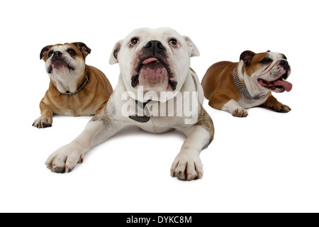 Englische Bulldogge, Canis lupus f. familiaris, English bulldog - Stock Photo