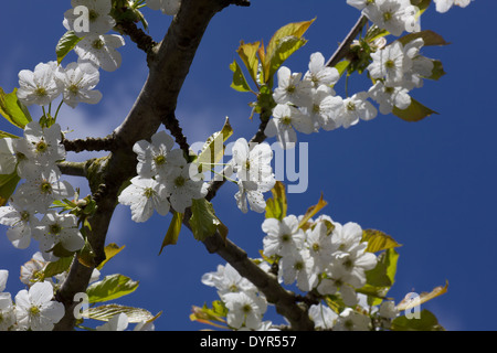 Flowering Cherry Blossoms against a blue sky - Stock Photo