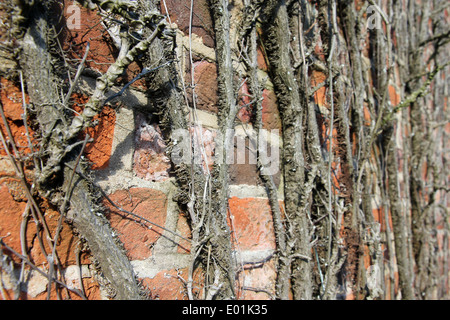 Boston ivy Japanese ivy creeper wall plant on Suffolk red brick wall - Stock Photo