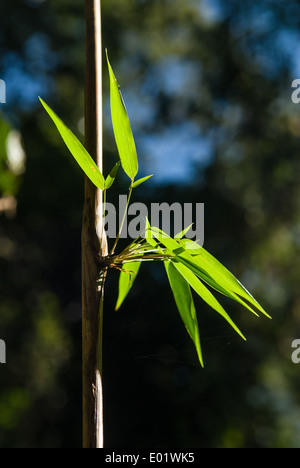 Leaves growing on a bamboo stem. Mata Atlantica forest. - Stockfoto