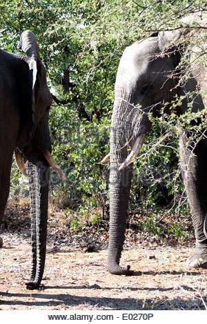 two african elephants standing together facing each other with their trunks touching the ground in kruger national - Stock Photo