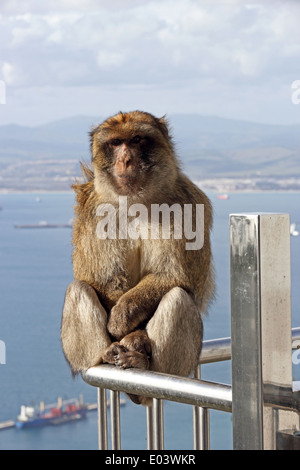 Barbary Ape sat on metal fencing, with port in background, Gibraltar - Stock Photo