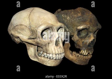 Early hominid skull Stock Photo, Royalty Free Image ...