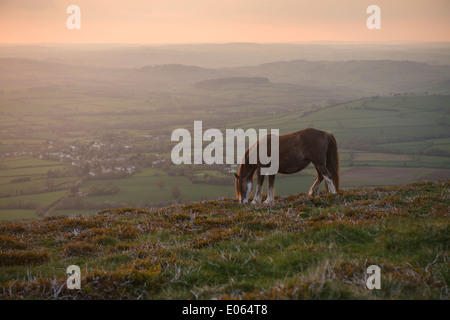 Wild Welsh Mountain Pony grazing on hillside of Mynydd Llangorse, Brecon Beacons national park, Wales - Stock Photo