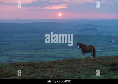 Wild Welsh Mountain Pony at sunset on Mynydd Llangorse, Brecon Beacons national park, Wales - Stock Photo