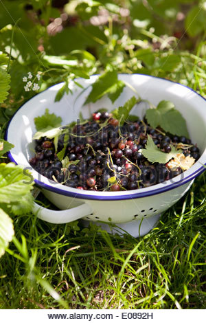 Freshly picked blueberries in colander on grass - Stock Photo