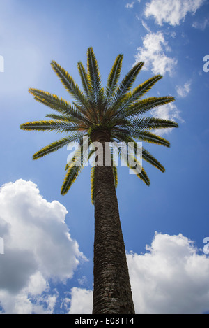 Date palm dominates landscape against blue sky & clouds in North Central Florida. - Stock Photo