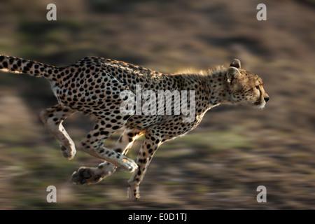 Running Cheetah, Serengeti, Tanzania (Acinonyx jubatus) - Stockfoto