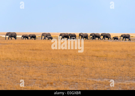 African elephants in Amboseli Nationwide park, Kenya., African elephants in Amboseli National Park - Stock Photo