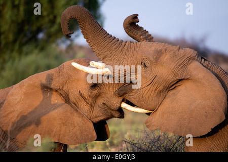 Two young elephants fighting in Samburu Nationwide reserve, Kenya., Two young elephants fighting in Samburu National - Stock Photo