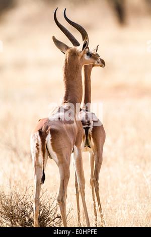 Two Gerenuk (Litocranius walleri) AKA Giraffe Gazelle Photographed in Samburu National Reserve, Kenya - Stock Photo