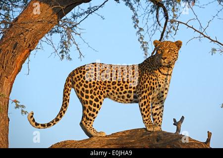 Leopard (Panthera pardus) haelt Ausschau auf einem Baum im ersten Morgenlicht , Khomas Region, Namibia, Afrika - Stock Photo