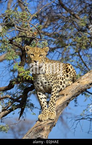 Leopard (Panthera pardus) haelt Ausschau auf einem Baum am Abend , Khomas Region, Namibia, Afrika - Stock Photo