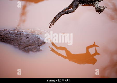 A Cane Toad is reflected as it leaps from a rock in a mud puddle, Kauai, Hawaii, USA (Bufo marinus) - Stock Photo