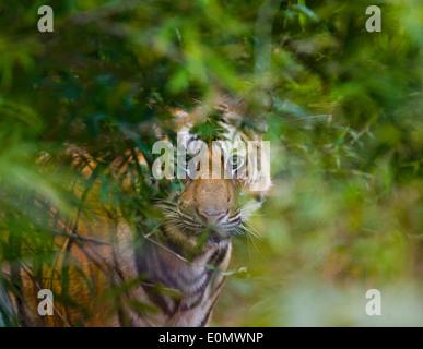 Indische Tiger, Bandhavgarh National Park, Indien (Panthera Tigris) - Stockfoto