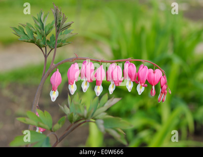 Graceful pink flowers of Dicentra in the garden - Stock Photo