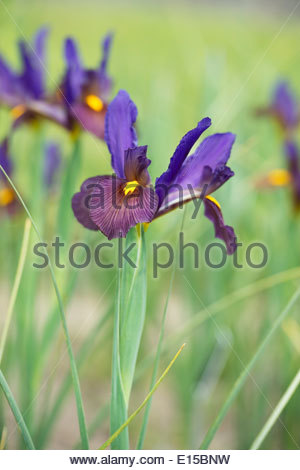 Iris hollandica