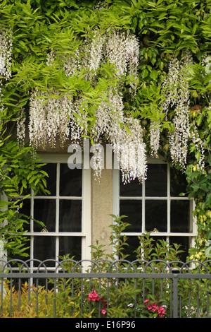 Wisteria (Wisteria floribunda) flowering climber with ...