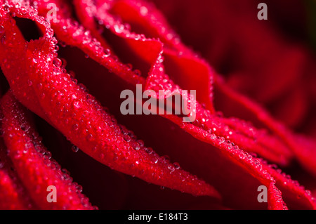 Closeup of water droplets on the petals of a red rose - Stock Photo