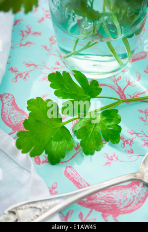 A Close Up of a Fresh Parsley Stem - Stock Photo