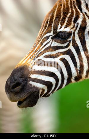 Close up portrait of burchells zebra (Equus burchelli), Lake Nakuru National Park, Kenya, Africa - Stock Photo