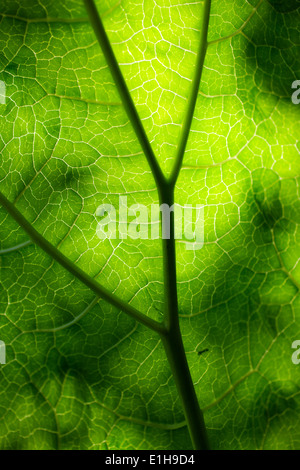 Close up of green rhubarb leaf against sun - Stock Photo
