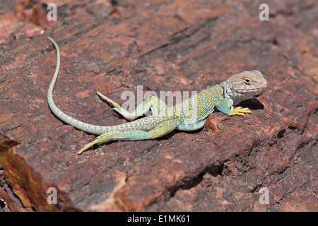 USA, Arizona, Petrified Forest National Park, Giant Logs Trail, Collared Lizard (Crotaphytus Collaris) sitting on - Stock Photo
