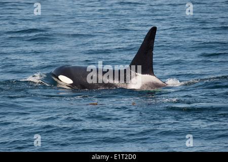 Transient/Biggs Killer Whale/Orca (Orcinus orca). Surfacing, Monterey, California, Pacific Ocean. - Stock Photo