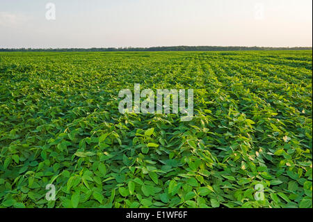 mid-growth soybean field, Manitoba, Canada - Stock Photo