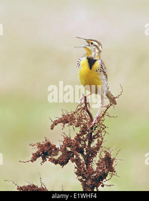 A Western Meadowlark, Sturnella neglecta, sings from curly dock flower, in Saskatchewan, Canada - Stock Photo