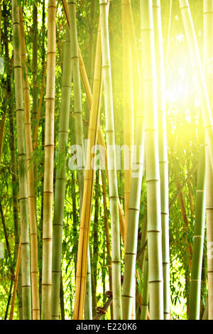 bamboo forest with morning sunlight - Stockfoto