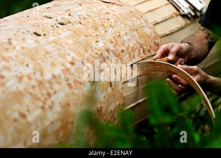 France, Doubs, Frasne, forest, Sanglier reaping the straps on a spruce tree to the Mont d Or cheese - Stock Photo