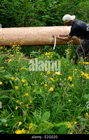 France Doubs Frasne forest Sanglier collects it straps of bark on a spruce tree for Mont d Or cheese - Stock Photo