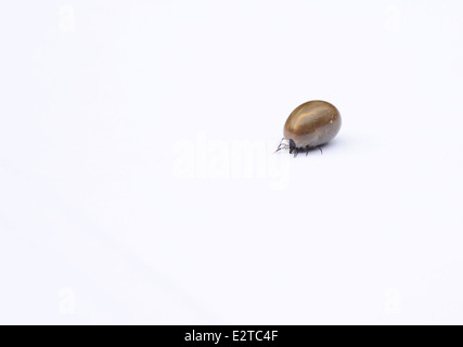 Castor bean tick (Ixodes ricinus) on a white background. Female after feeding on the blood of a dog. - Stock Photo