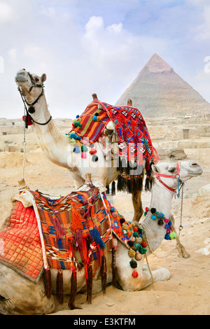 Bedouin camels rest near the Pyramids, Cairo, Egypt - Stockfoto