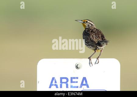 Meadowlark on sign. - Stock Photo