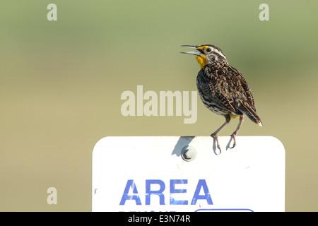 Singing meadowlark on sign. - Stock Photo