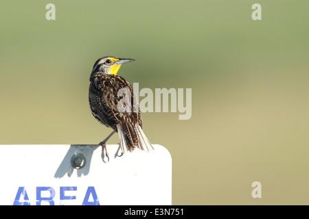Perched meadowlark. - Stock Photo