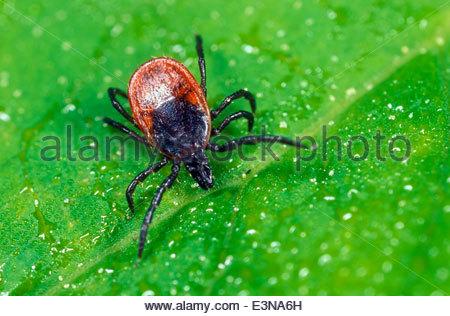 Castor bean tick / Ixodes ricinus - Stock Photo